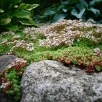 Baltaziedis-silokas-Daugiametis-kiliminis-augalas-02