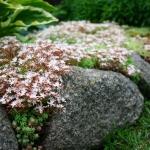 Baltaziedis-silokas-Daugiametis-kiliminis-augalas-03