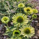 "Eziuole-""Green-Jewel-Echinacea-""Green-jewel-daigiamete-1"