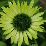 "Eziuole-""Green-Jewel-Echinacea-""Green-jewel-daigiamete-3"