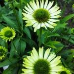 "Eziuole-""Green-Jewel-Echinacea-""Green-jewel-daigiamete-4"