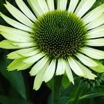 "Eziuole-""Green-Jewel-Echinacea-""Green-jewel-daigiamete-5"