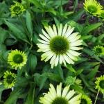 "Eziuole-""Green-Jewel-Echinacea-""Green-jewel-daigiamete-6"