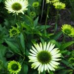 "Eziuole-""Green-Jewel-Echinacea-""Green-jewel-daigiamete-7"
