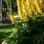 Gaure-Dragon-Wings-Daugiametis-augalas.-11