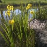 Geltonasis-vilkdalgis.-Daugiametis-augalas.-02