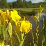 Geltonasis-vilkdalgis.-Daugiametis-augalas.-06