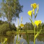 Geltonasis-vilkdalgis.-Daugiametis-augalas.-08