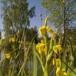 Geltonasis-vilkdalgis.-Daugiametis-augalas.-10
