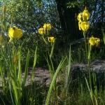Geltonasis-vilkdalgis.-Daugiametis-augalas.-14