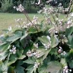 "Japonine-pluke-""Anemone-Japonica-Daugiametis-augalas-10"