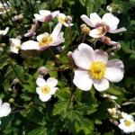 "Japonine-pluke-""Anemone-Japonica-Daugiametis-augalas-21"
