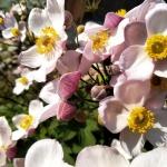 "Japonine-pluke-""Anemone-Japonica-Daugiametis-augalas-26"