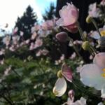 "Japonine-pluke-""Anemone-Japonica-Daugiametis-augalas-34"