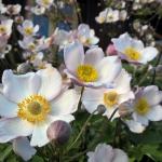 "Japonine-pluke-""Anemone-Japonica-Daugiametis-augalas-37"