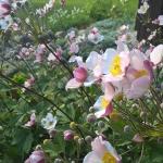 "Japonine-pluke-""Anemone-Japonica-Daugiametis-augalas-39"