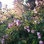 "Japonine-pluke-""Anemone-Japonica-Daugiametis-augalas-47"