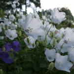 Karpatinis-katilelis-Daugiametis-augalas-05