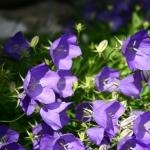 Karpatinis-katilelis-Daugiametis-augalas-09