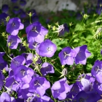 Karpatinis-katilelis-Daugiametis-augalas-10