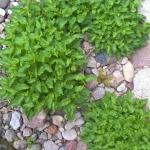 Karpatinis-katilelis-Daugiametis-augalas-12
