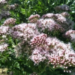 Daugiametis-augalas-Kemeras-Eupatorium-01