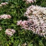 Daugiametis-augalas-Kemeras-Eupatorium-03