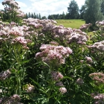 Daugiametis-augalas-Kemeras-Eupatorium-05