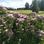 Daugiametis-augalas-Kemeras-Eupatorium-06