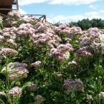 Daugiametis-augalas-Kemeras-Eupatorium-10