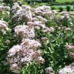 Daugiametis-augalas-Kemeras-Eupatorium-11