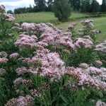 Daugiametis-augalas-Kemeras-Eupatorium-12