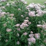 Daugiametis-augalas-Kemeras-Eupatorium-15