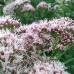 Daugiametis-augalas-Kemeras-Eupatorium-17