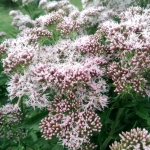 Daugiametis-augalas-Kemeras-Eupatorium-18