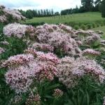 Daugiametis-augalas-Kemeras-Eupatorium-19