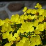 Keturbriaune-nakvisa-Daugiametis-augalas-10