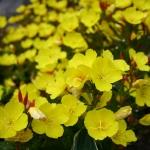 Keturbriaune-nakvisa-Daugiametis-augalas-11