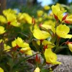 Keturbriaune-nakvisa-Daugiametis-augalas-12