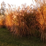 Kininis-miskantas-Miscanthus-sinensis-Daugiametis-augalas-15