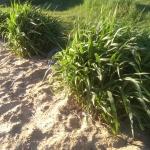 Kininis-miskantas-Miscanthus-sinensis-Daugiametis-augalas-20