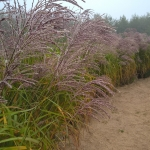 Kininis-miskantas-Miscanthus-sinensis-Daugiametis-augalas-29