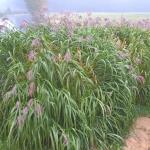 Kininis-miskantas-Miscanthus-sinensis-Daugiametis-augalas-38