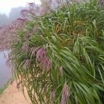 Kininis-miskantas-Miscanthus-sinensis-Daugiametis-augalas-39