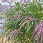 Kininis-miskantas-Miscanthus-sinensis-Daugiametis-augalas-40