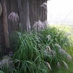 Kininis-miskantas-Miscanthus-sinensis-Daugiametis-augalas-63