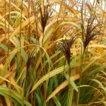 Kininis-miskantas-Miscanthus-sinensis-Daugiametis-augalas-66
