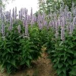 "Kinmete-""Blue-Fortune-Daugiametis-augalas-10"