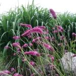 Kraujalake-Menzio-daugiametis-augalas-2