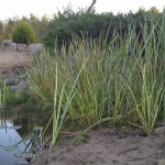 Margalapis-ajeras-Variegata-Daugiametis-augalas-02